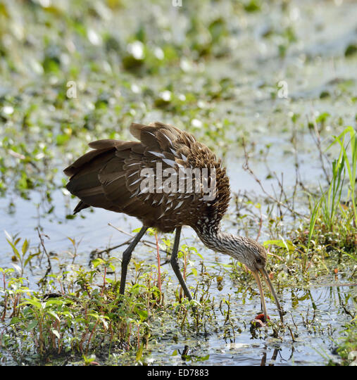 Limpkin Bird Feeding In Florida Swamp - Stock Image