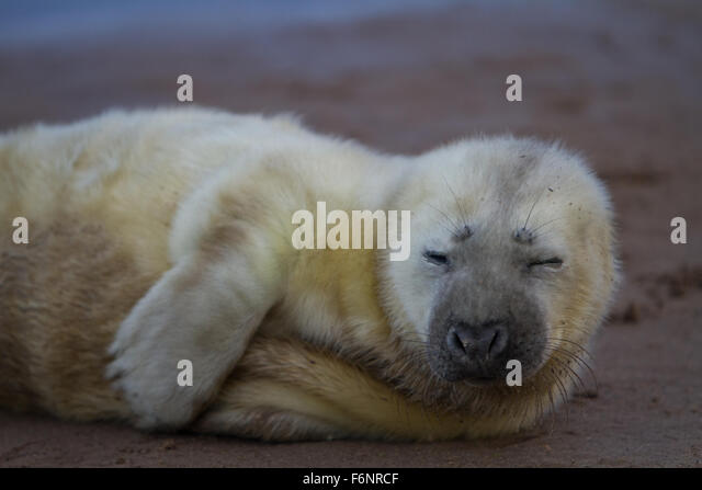 Donna Nook Nature Reserve, Lincolnshire, UK. 18th November, 2015. Annual birthing of seal pups at Donna Nook Nature - Stock Image