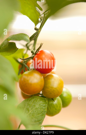 Close up of tomatoes ripening on vine in garden - Stock Image