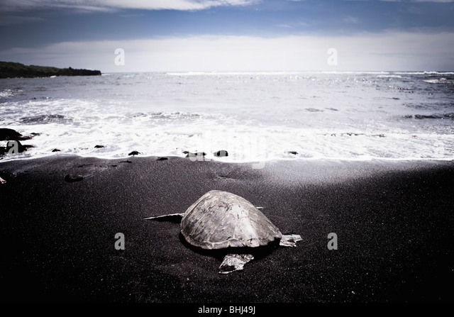 Turtle heading out to sea on black beach - Stock Image