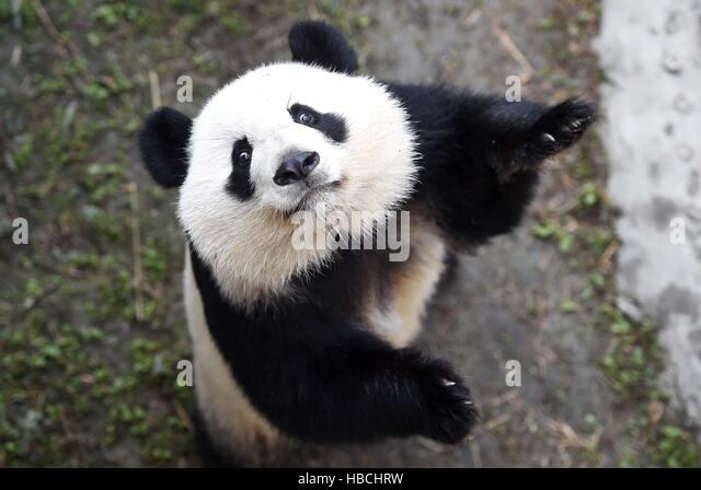 Chengdu, China. 6th Dec, 2016. Giant panda Meihuan plays at the Chengdu Research Base of Giant Panda Breeding in - Stock Image