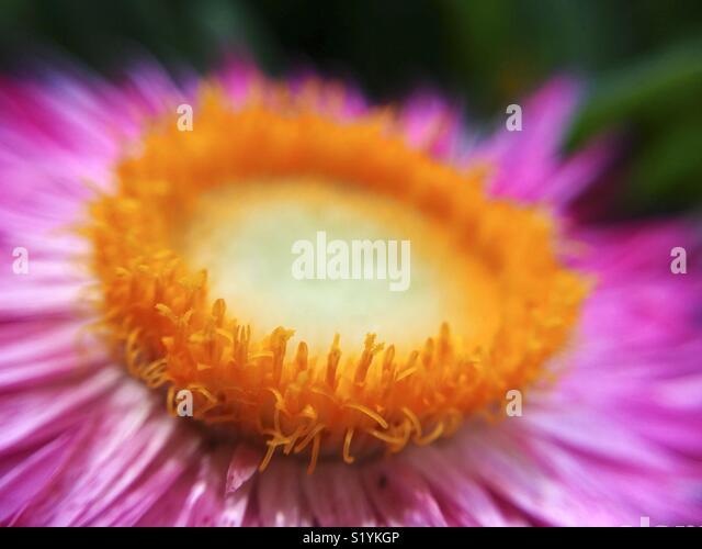 Macro of straw flower. Helichrysum sp. - Stock Image