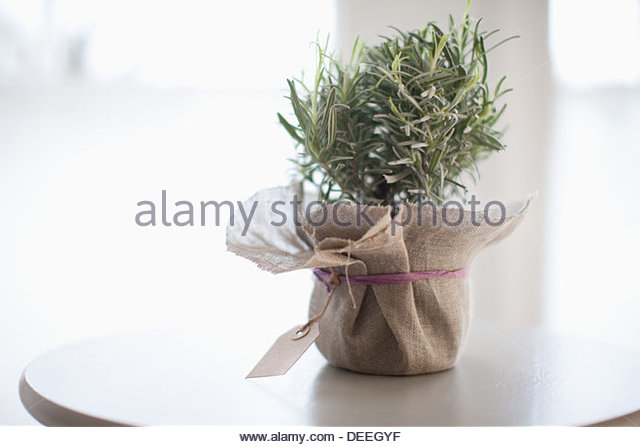 Rosemary - Stock Image