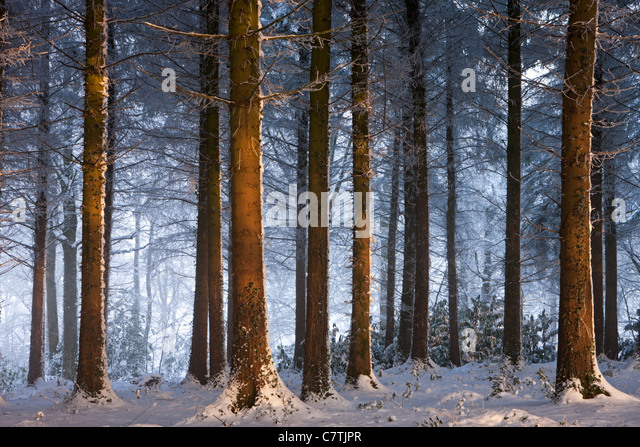 Snow covered winter woodland, Morchard Wood, Devon, England. December 2010. - Stock Image