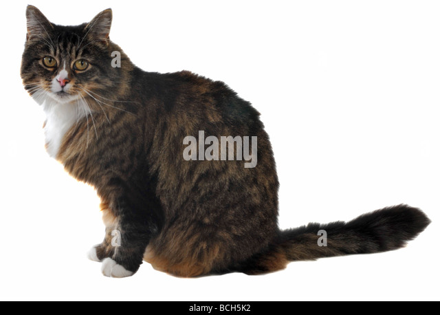 Tabby cat on a 'white background' - Stock Image