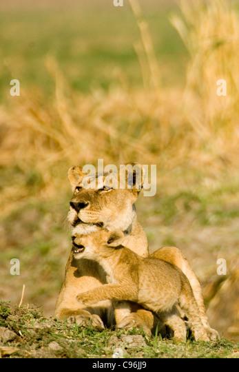 Katavi, Tanzania, Africa.  Female lion with cub. - Stock Image