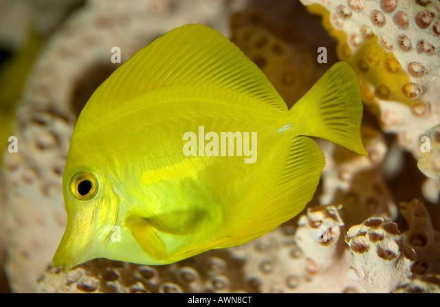 Yellow Tang; Zebrasoma flavescens - Stock-Bilder