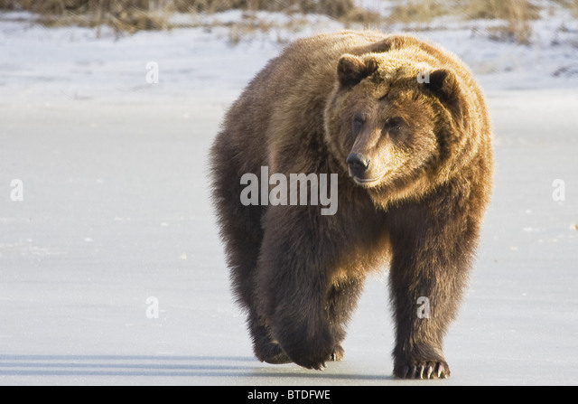 CAPTIVE Grizzly walking in snow At the Alaska Wildlife Conservation Center - Stock-Bilder