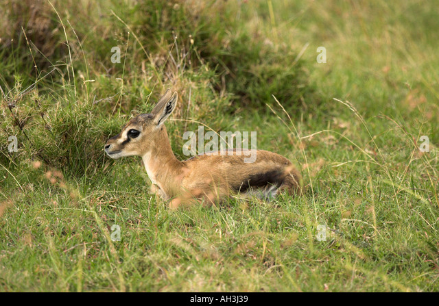 Thompson's Gazelle And Baby Stock Photos & Thompson's ...