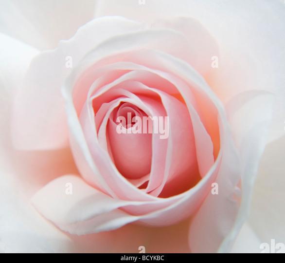 The Elizabeth Casson Rose - Stock Image