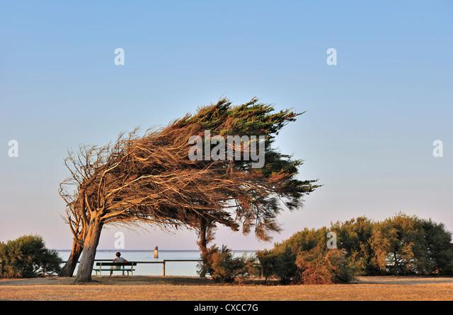 windswept-trees-bent-by-coastal-atlantic