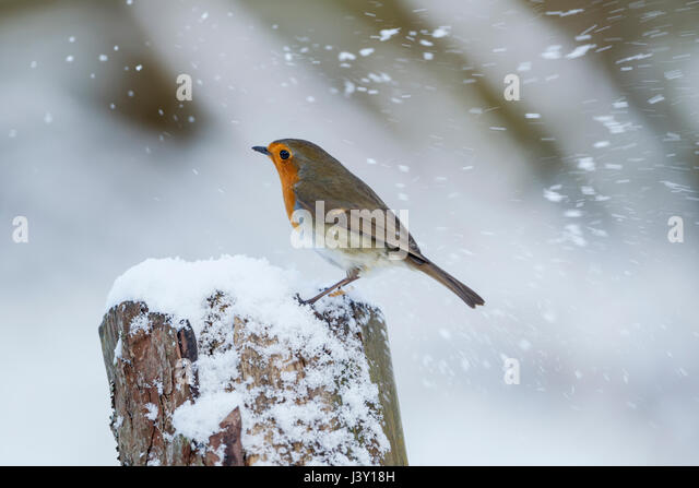 European robin, Latin name Erithacus rubecula, perched on a tree stump in a snow storm - Stock Image