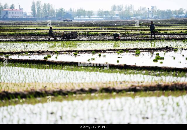 Wuchang, China's Heilongjiang Province. 17th May, 2016. Farmers transplant rice in the field in Longfengshan - Stock Image