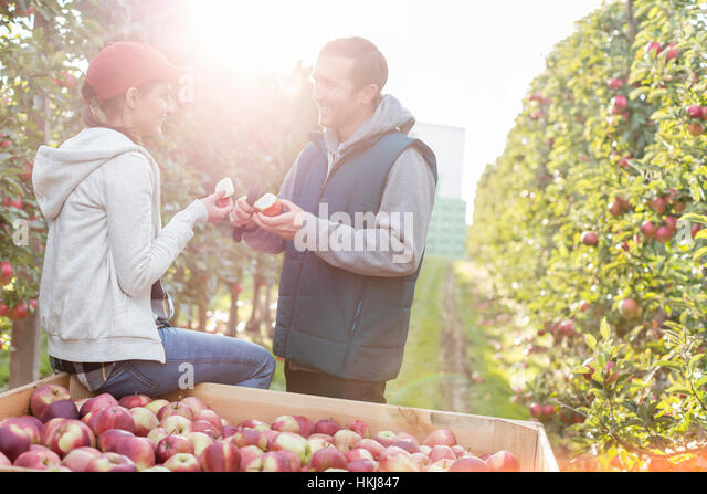 Farmers cutting and inspecting apples in sunny orchard - Stock-Bilder