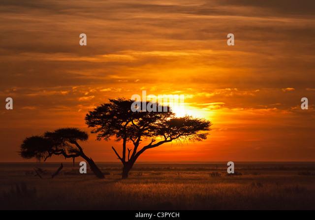 Africa, Namibia, Umbrella thorn acacia in etosha national park at sunrise - Stock Image