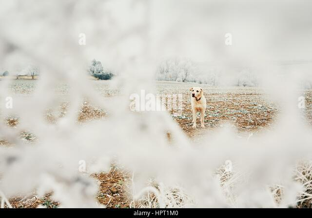 Frosty day with dog. Labrador retriever on the walk in rural landscape. - Stock Image