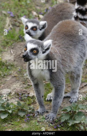 Grooming In Ring Tailed Lemurs