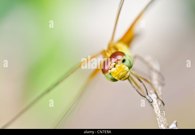 dragonfly in garden or in green nature - Stock Image