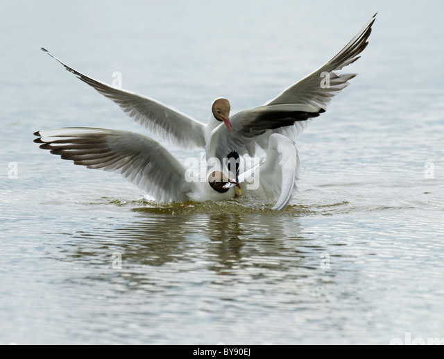 Sandwich Tern and Black-headed Gulls - Stock Image