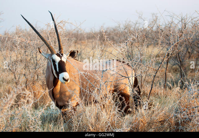 One Oryx (Gemsbock) standing in the bushes in Etosha National Park, Namibia - Stock Image