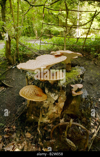 Dryad's Saddle Fungus growing on a dead tree trunk photographed in Northumberland during May - Stock Image