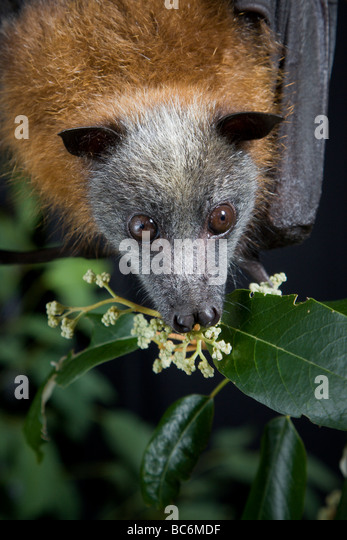 Grey headed flying fox - Stock-Bilder