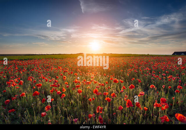 Sunset over a field of Poppies - Stock Image