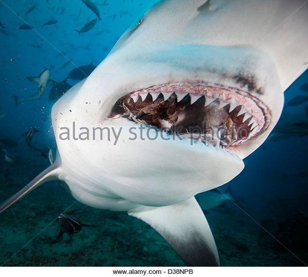 Close up of bull sharks teeth - Stock Image