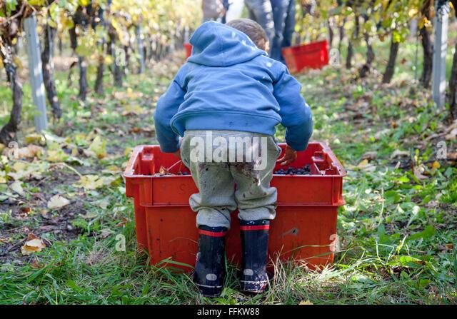 Toddler boy helps in harvesting grapes in vineyard - Stock Image