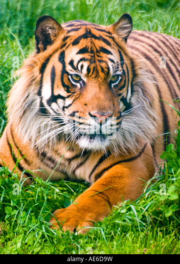 Sumatran Tiger Portrait 2 - Stock Image