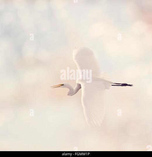 Great White Egret in Flight - Stock-Bilder