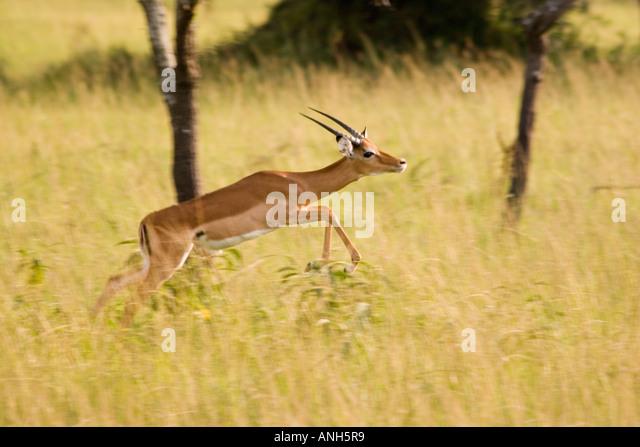Ourebia ourebia (Oribi), Lake Mburo National park, Uganda, Africa - Stock Image