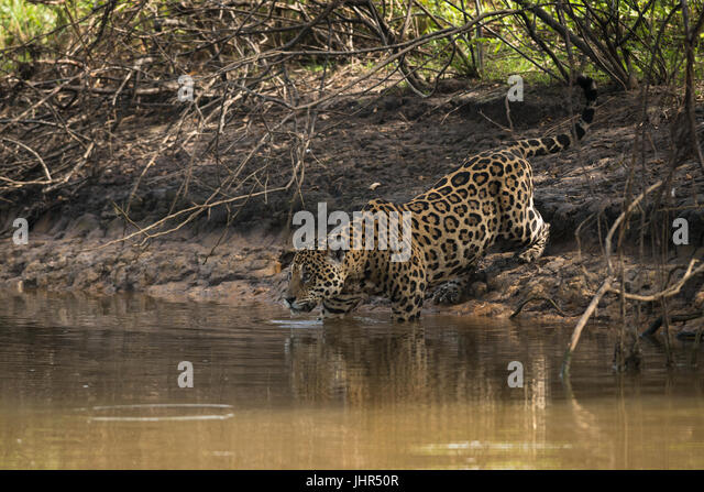 A male Jaguar entereing the water in the Pantanal - Stock Image