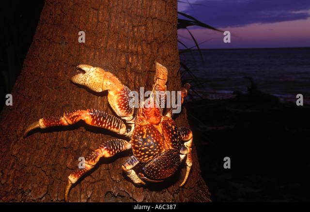 Coconut Robber Crab Birgus latro World s largest land crustacean A hermit crab Endangered West Indian West Pacific - Stock-Bilder