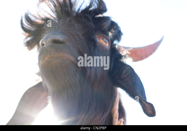 Goat's head, low angle - Stock-Bilder