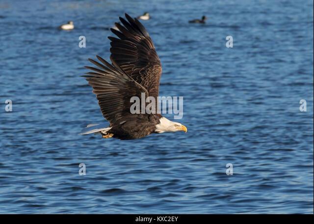 Bald Eagle Flying Usa Stock Photos & Bald Eagle Flying Usa ...