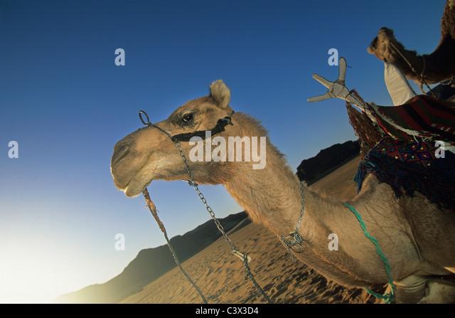 Algeria, Djanet, Sahara Desert, Camel, portrait. - Stock Image
