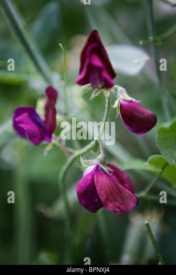 A close up of fully bloomed purple sweet peas growing in a garden. - Stock Image