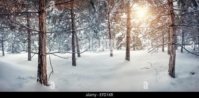 Winter snowy forest panorama with sun - Stock Image