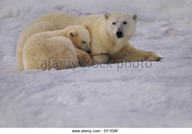Hudson Bay Canada Polar bear mother and cub resting Ursus maritimus - Stock Image