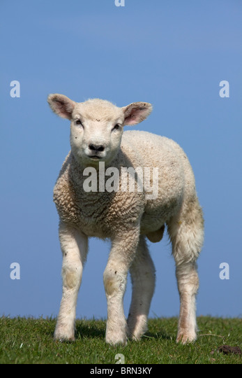 Domestic Sheep (Ovis ammon aries), single lamb on a levee, seen against a blue sky. - Stock Image