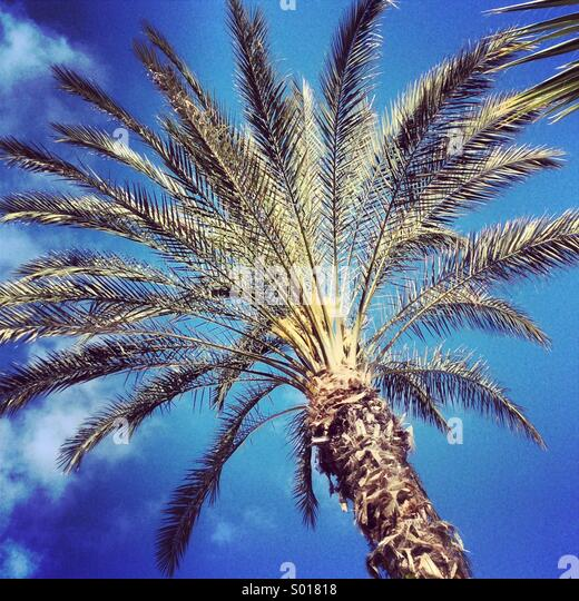 Palm tree in the Canary Islands - Stock Image