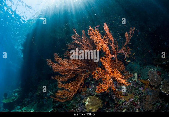 Gorgonian [Annella mollis] on reef slope.  West Papua, Indonesia. - Stock Image