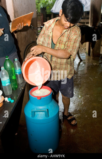 Migrant dairy workers collect milk yield after hand-milking  cows in a small scale privately owned dairy farm. Goa - Stock Image