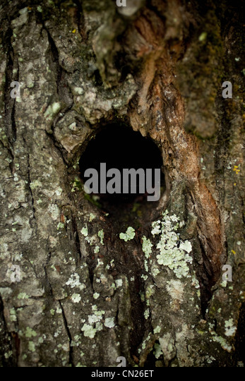 Bird hole in tree trunk - Stock Image