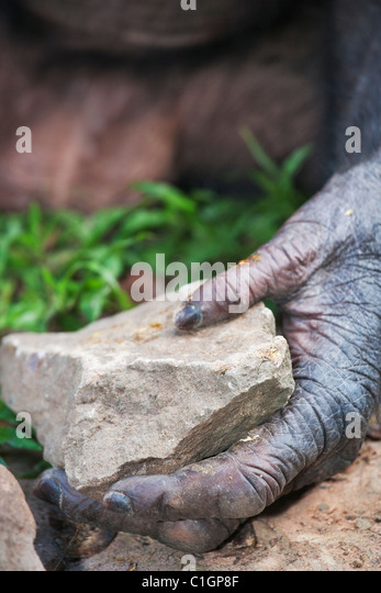 Bonobo Chimpanzee at the Sanctuary Lola Ya Bonobo, DRC. Hands and feet have opposable digits for tool use - Stock-Bilder