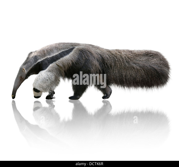 Giant Anteater - Stock Image