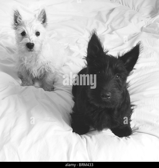 Scottish Terrier Puppy Dog Stock Photos & Scottish Terrier ...