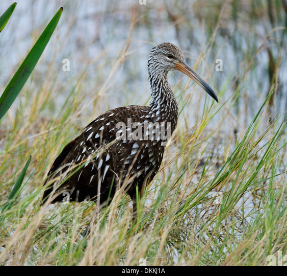 Limpkin Bird Feeding In The Early Morning - Stock Image