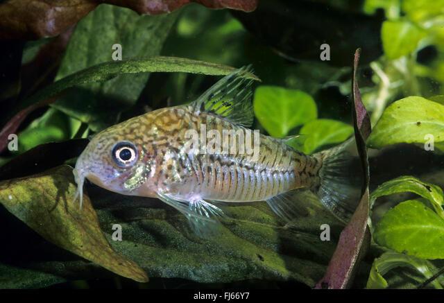 False Network Cory, false network catfish (Corydoras sodalis ...